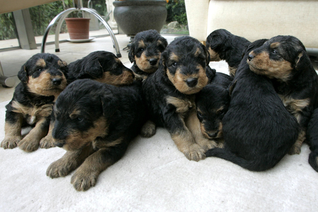 Airedale Litter