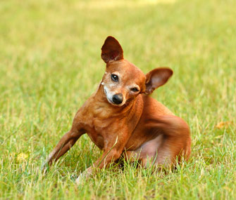 Dog itching himself in a field