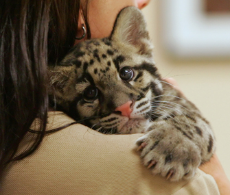 Clouded leopard cub cuddling with zookeeper
