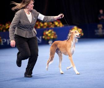 Saluki in 2011 National Dog Show