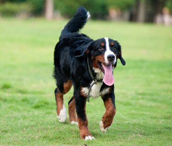 Bernese Mountain Dogs are susceptible to CCL disease