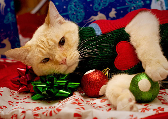 white cat in holiday sweater