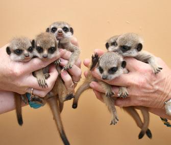 Meerkats born at Taronga Zoo