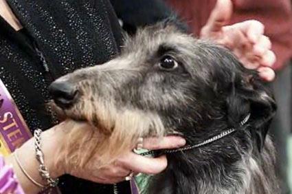 Westminster winner Hickory