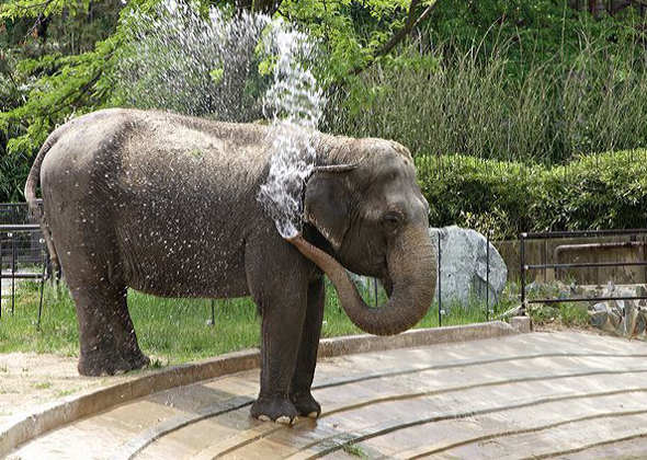 Ambika the Asian Elephant