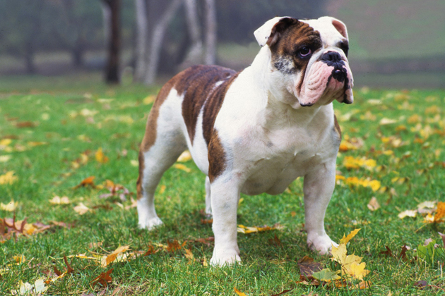 Bulldog — Deceptively Sweet and Snuggly
