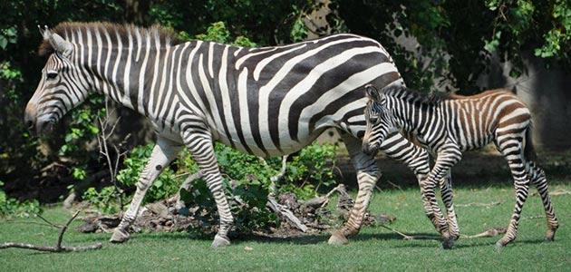 Baton Rouge baby zebra and mom