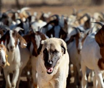 Anatolian Shepherd dog Bonzo leads a herd of goats on a farm in Namibia.