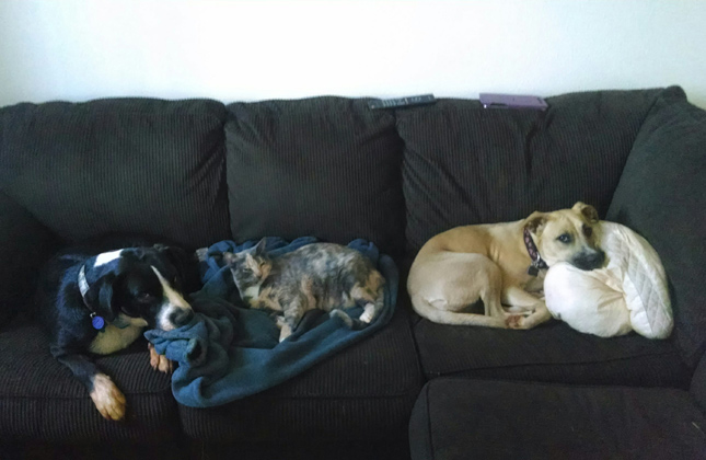 Two dogs and a cat nap on a couch.