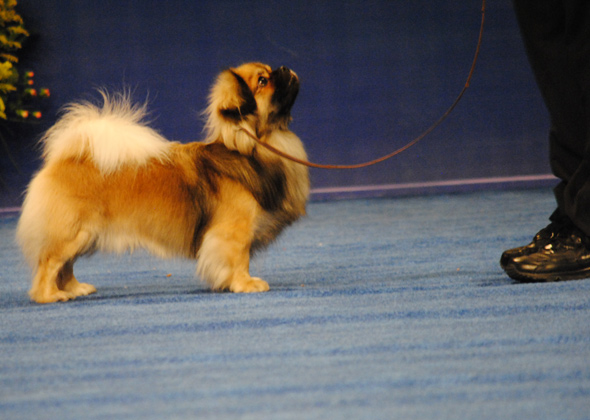 Tibetan Spaniel, Non-Sporting Group Winner for 2012 National Dog Show