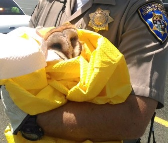 CHP Officer Justin Fetterly rescued the injured owl from Highway 101 in California.