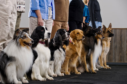 Dogs in training class