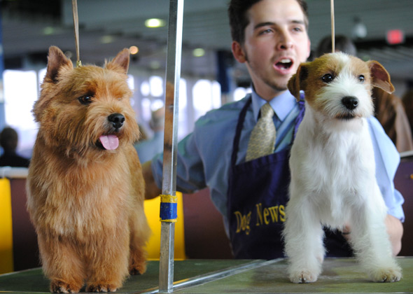 Russell Terrier and Norwich Terrier at Westminster