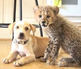 Kumbali the cheetah cub and Kago the Lab mix puppy have become best buddies at the Metro Richmond Zoo in Virginia.