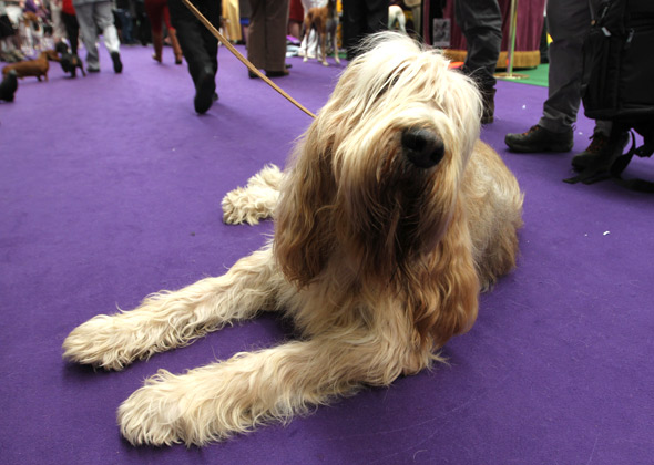 Westminster Rufus the Otterhound