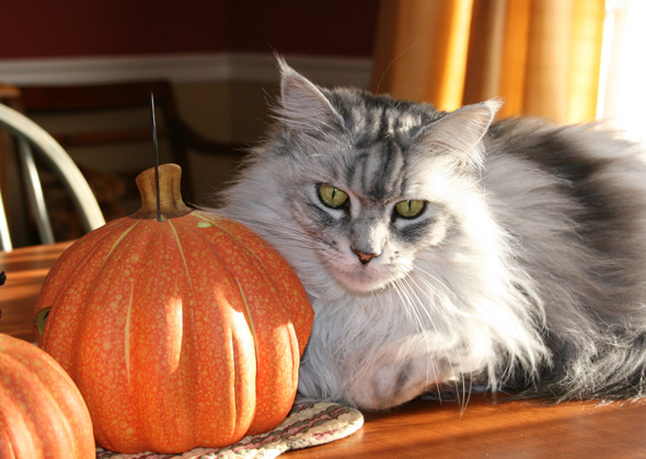 Cat with pumpkin in fall