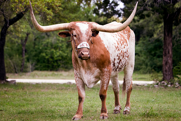 Bevo, The University of Texas at Austin