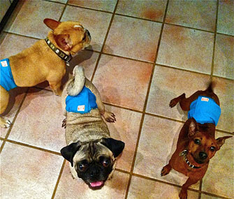 Dr. Patty Khuly's Dogs Wearing Belly Bands