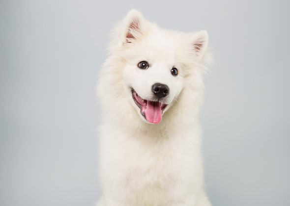 Brody, Eskimo Spitz, Animal Planet Puppy Bowl X