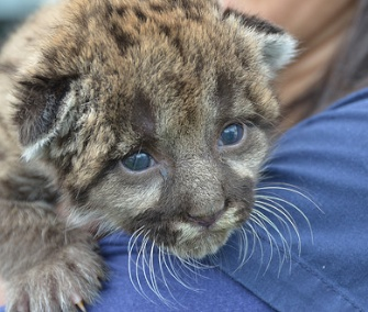 The Florida panther kitten was only about 1 pound when he was found. He's pictured here at 2 weeks old.