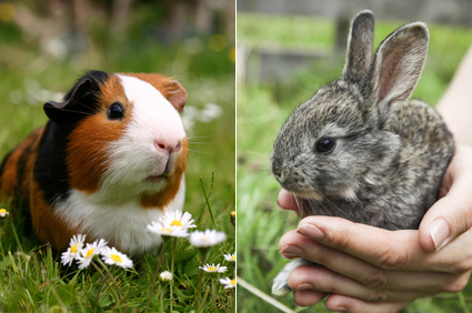 Rabbit and Guinea Pig