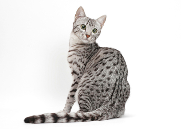 Egyptian Mau Cat Breed