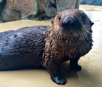 When Mishka, a sea otter, started having trouble breathing, veterinarians at the Seattle Aquarium diagnosed her with asthma.