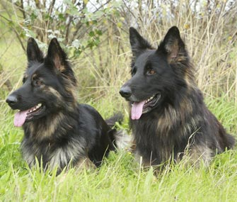 Two German Shepherds Laying in Grass