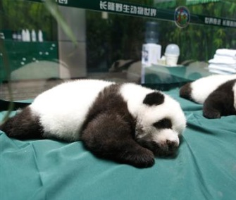 The world's only surviving panda triplets turned 100 days old Wednesday.