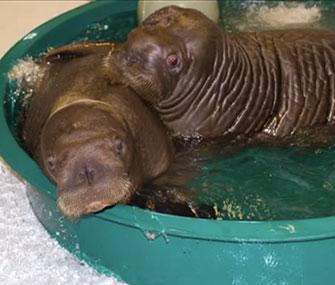 Walruses Mitik and Pakak are leaving Alaska for new aquarium homes.