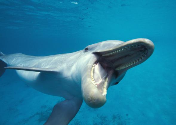 Bottlenose Dolphin Smiling
