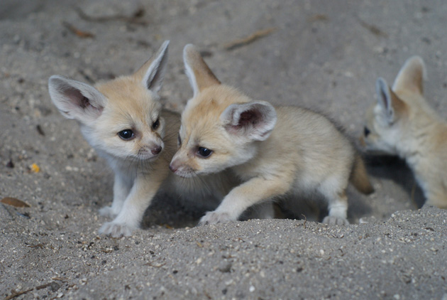 Adorable fennec foxes born at palm beach zoo