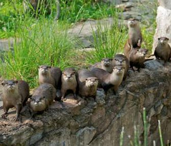 National Zoo Otter family