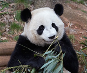 Zoo Atlanta's 3- and 5-year-old pandas Xi Lan and Po leave for China today.