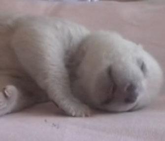 Polar Bear China cub