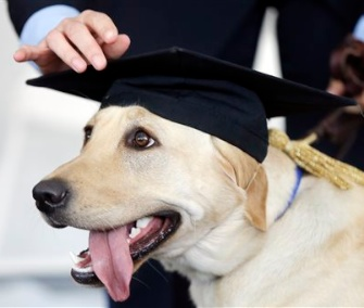Socks, a Labrador Retriever, is fitted with a mortarboard at her graduation from the Penn Vet Working Dog Center.