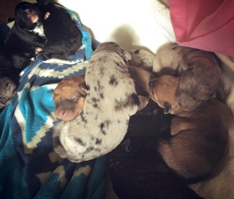 Hero led his own rescuers to 10 puppies and a mom who needed help.