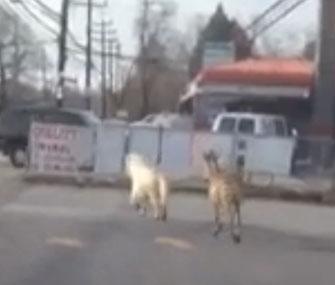Razzi the zebra chases Casper the pony on Staten Island.