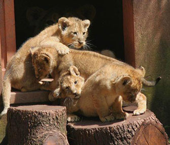Asiatic lion cubs