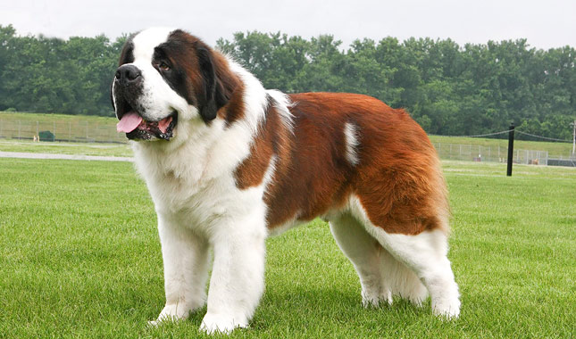 the gallery for gt st bernard full grown