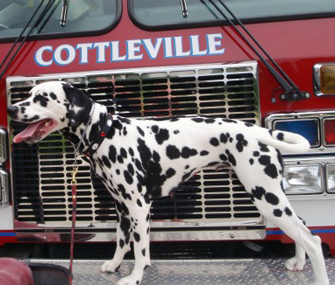 Indy the Dalmatian