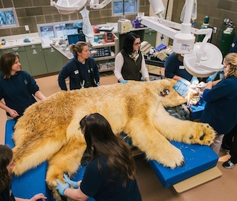 Boris, a 29-year-old polar bear, has three teeth removed at the Point Defiance Zoo.