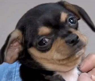 Mango, a 7-week-old puppy, was returned to a shelter two days after he was stolen.