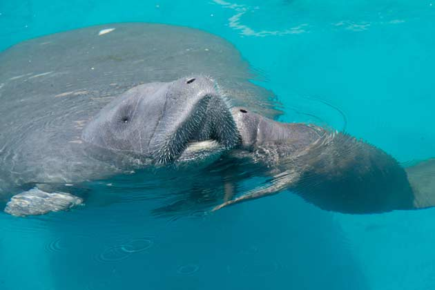 manatee and calf kiss