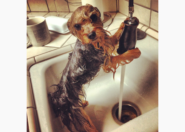 Hailstorm the Yorkie takes a bath in the sink