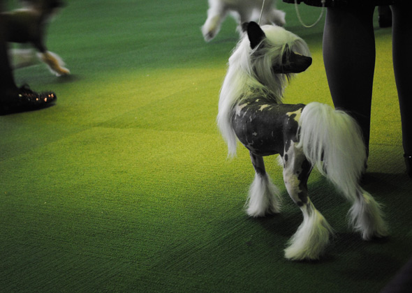 Chinese Crested at Westminster Dog Show
