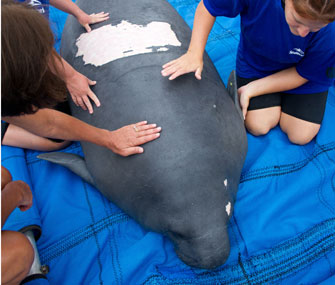 Claire the manatee was released in Florida