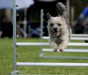 Terrier Dog Doing Agility