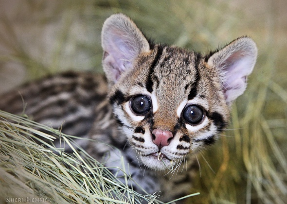 Baby ocelot at the Cameron Park Zoo in Texas