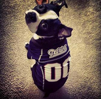 dog in patriots jersey